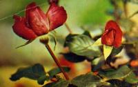 цветок, роза, листок