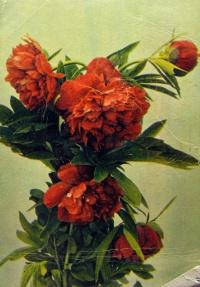 цветок, листок, пион, букет