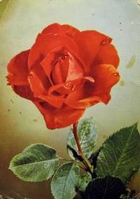 цветок, роза, листок, капля